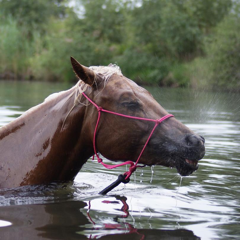 Veilig zwemmen met paard